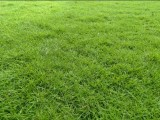 Australian carpet Grass